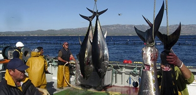 Bluefin tuna fishery reopened for the Canary Islands fleet until the end of the year