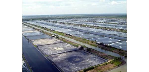 Indonesia targeted to become world's largest vannamei shrimp producer