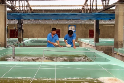 NINH THUẬN A BOOM TOWN FOR QUALITY SHRIMP FRY PRODUCTION