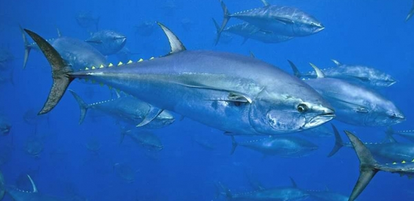 Pacifical makes it possible to trace MSC tuna via Ethereum platform