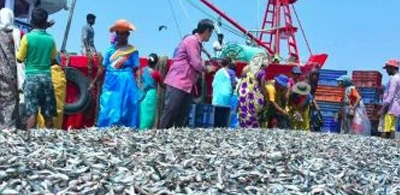 Traditional Kerala Indian oil sardine in crisis